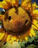 Le för solros arkivfoto