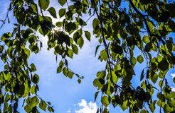 Le faisceau du soleil par les feuilles du bouleau Images stock