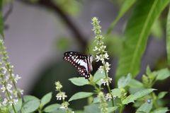 Le farfalle in bianco e nero volano e si appollaiano sui fiori fotografie stock libere da diritti