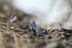 le farfalle blu si riuniscono nella moltitudine su terra nera Fotografie Stock Libere da Diritti
