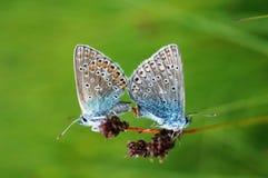 Le farfalle con le ali blu che si siedono su un campo fioriscono Fotografia Stock Libera da Diritti