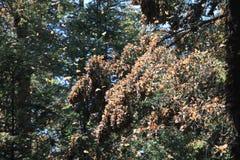 Le farfalle di monarca volano Immagine Stock