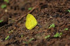 Le farfalle gialle stanno alimentando la terra Fotografia Stock Libera da Diritti