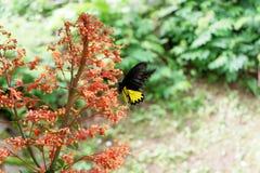 le farfalle nere si appollaiano sui fiori rossi fotografia stock