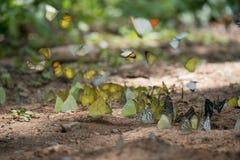 Le farfalle stanno alimentando il minerale al parco nazionale di Kaeng Krachan, Fotografia Stock Libera da Diritti