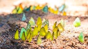 Le farfalle stanno alimentando il minerale al parco nazionale di Kaeng Krachan, Immagini Stock