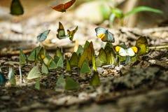 Le farfalle stanno alimentando il minerale al parco nazionale di Kaeng Krachan, Fotografie Stock
