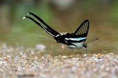 Le farfalle stanno spruzzando l'acqua (Dragontail verde) Immagini Stock