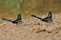 Le farfalle stanno spruzzando l'acqua (Dragontail verde) Fotografia Stock Libera da Diritti
