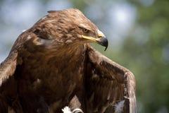 le faucon Images stock