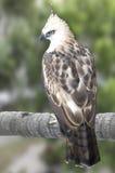 Le faucon-aigle de Pinsker Photos libres de droits
