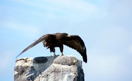 Le faucon de Galapagos prend l'île d'Espanola de vol Photo stock