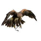 Le faucon de Harris (18 mois) Image libre de droits