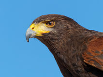 Le faucon de Harris Photo libre de droits