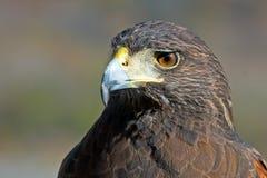 Le faucon de Harris Image libre de droits