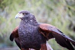 Le faucon de Harris Photo stock