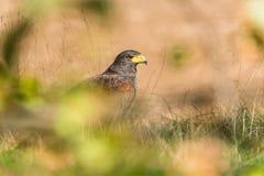 Le faucon de Harris caché dans le sauvage Image stock