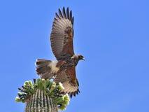 Le faucon de Harris en vol Images stock