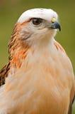 Le faucon de Krider Images libres de droits
