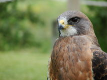 Le faucon de Swainson (swainso de buteo Photographie stock
