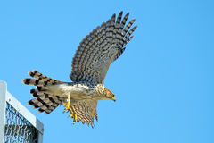 Le faucon du tonnelier image libre de droits