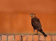 Le faucon du tonnelier Photographie stock libre de droits