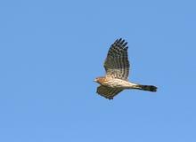 Le faucon du tonnelier Photo libre de droits