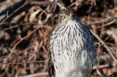 Le faucon du tonnelier Image stock