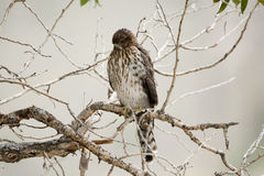 Le faucon du tonnelier Photographie stock