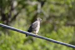 Le faucon du tonnelier Photos stock