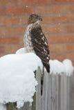 Le faucon du tonnelier tordu par neige Images stock