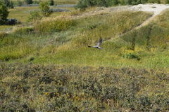 Le faucon effectue le vol Photo stock