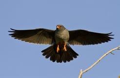 Le faucon Rouge-aux pieds mâle. Photographie stock libre de droits