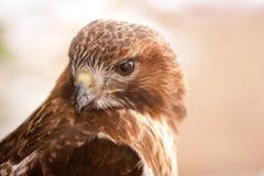 Le faucon rouge d'arrière avec la neige s'écaille sur des clavettes photographie stock libre de droits
