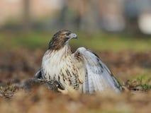le faucon Rouge-suivi retient un écureuil. Image libre de droits
