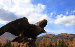 Le faucon trouvent sa cible photo libre de droits