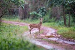 Le faune repéré de cerfs communs sur la route Photographie stock