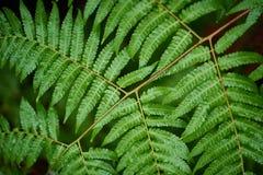 Le felci di Beautyful lascia a fogliame verde il backgro floreale naturale della felce immagini stock