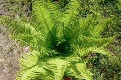 Le felci di Beautyful lascia a fogliame verde il fondo floreale naturale della felce al sole immagini stock
