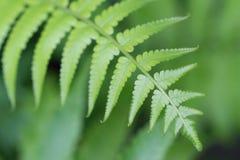 Le felci di Beautyful lascia a fogliame verde la felce floreale naturale fotografia stock libera da diritti