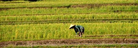 le fermier de bali met en place le riz Image stock