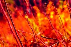 Le feu épineux. Photo libre de droits