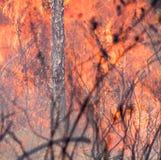 Le feu dans les pins Photographie stock libre de droits