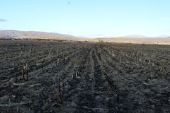 Le feu de champ a affecté le maïs images libres de droits