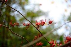 Le feu des fleurs du Pakistan photo stock