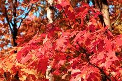 Le feuillage d'automne des érables rouges photos stock