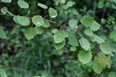 Le feuillage vert est couvert de baisses de l'humidité après pluie images libres de droits