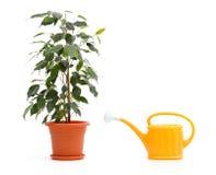 Le Ficus Benjamina et arrosage peut Photographie stock
