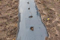 Le file degli alberelli del lampone piantati sull'agricoltura coltivano Immagini Stock