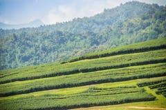 Le file degli alberi del tè nella valle a tè cinese coltivano Bello campo del tè verde nella valle sotto cielo blu e la nuvola bi Immagine Stock Libera da Diritti